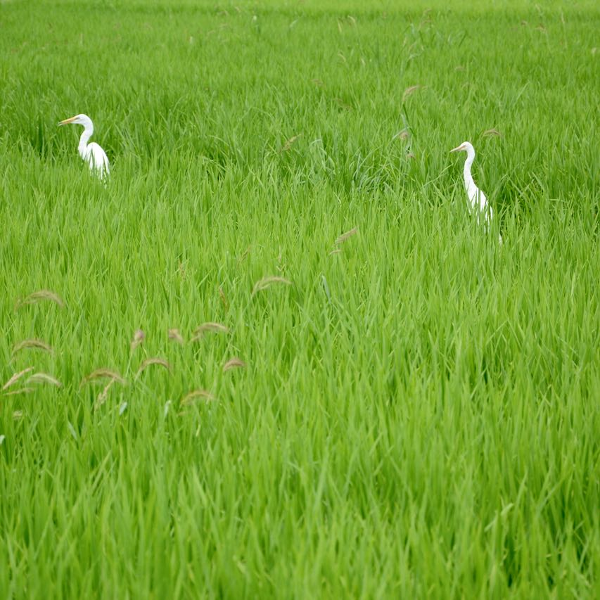 Kibi plain bike ride white crane rice field