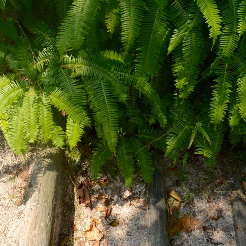 innoshima shiarataki shrine path fern