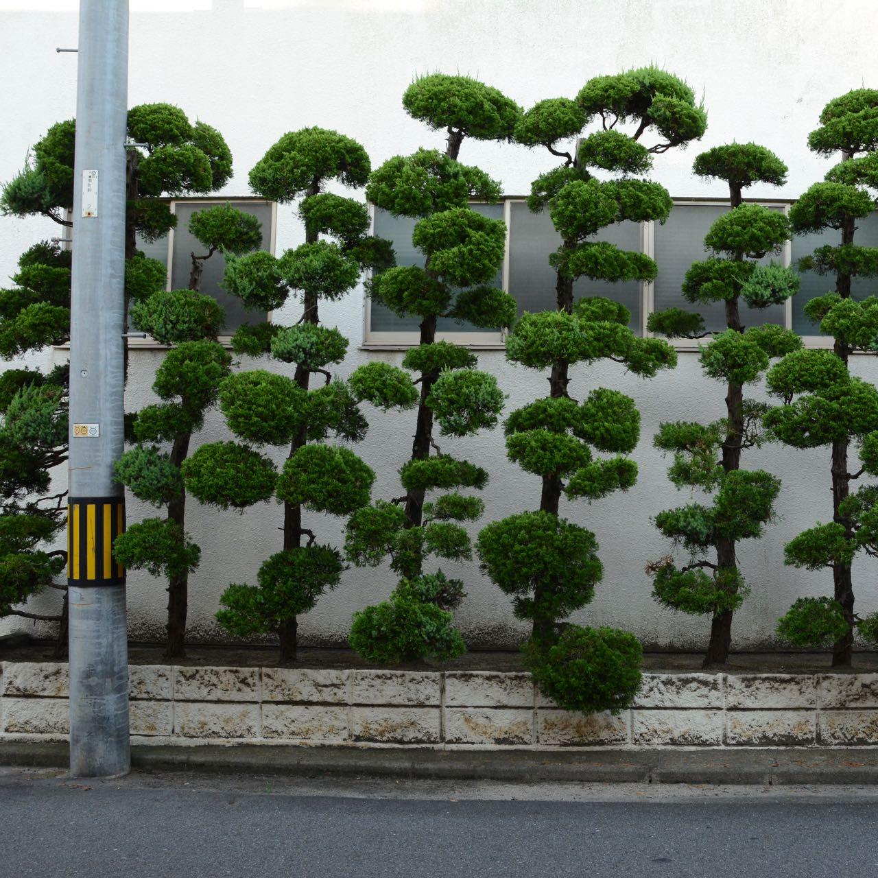 ornamental pine trees kurashiki