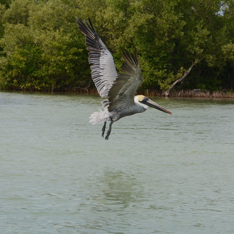 Travel with children kids mexico rio lagartos pelican in flight
