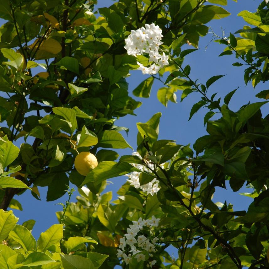 travel with kids children Soller Mallorca Spain lemon tree