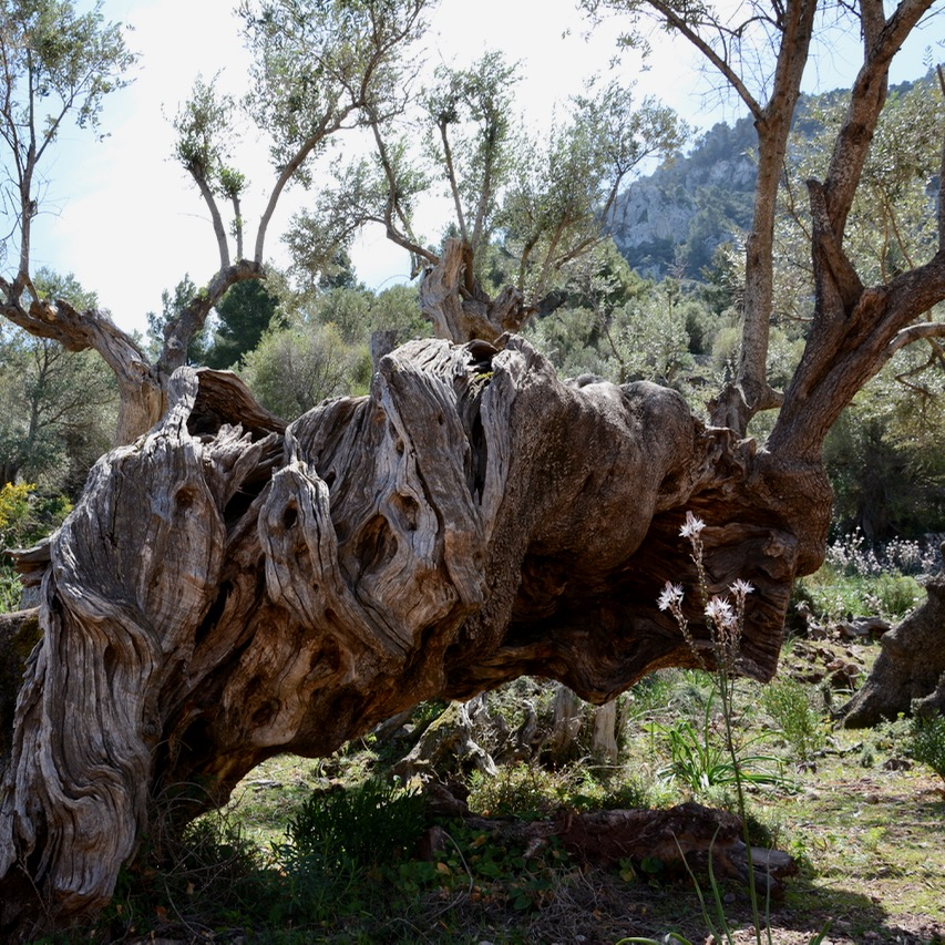 travel with kids children soller mallorca spain hiking cala tuent olive tree trunk