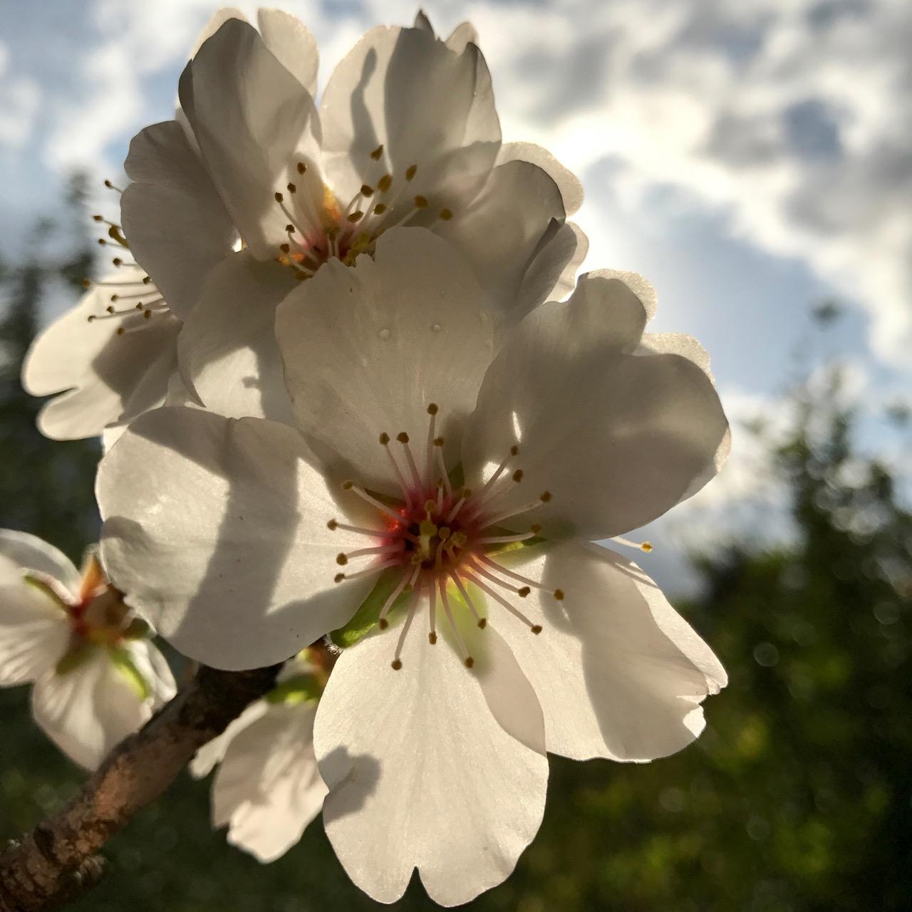 travel with kids children soller mallorca spain almond blossom